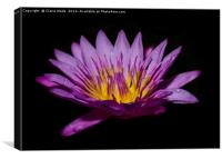 Pink lotus flower on black background , Canvas Print