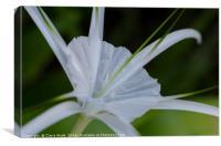 Spider Lily Flower in Thailand, Canvas Print