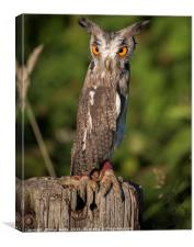 Nervous Owl, Canvas Print