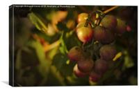 Shy Grapes , Canvas Print