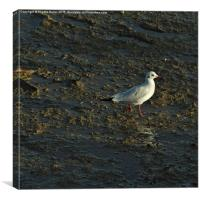 Sunny Seagull Walk , Canvas Print