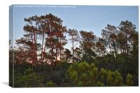 Pine Trees Waiting for Twilight, Canvas Print