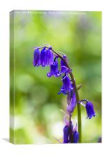 Bluebell flowers, Canvas Print