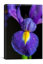 Iris flower, Canvas Print