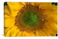 Heart of a sunflower, Canvas Print