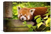 Red Panda Relaxing, Canvas Print