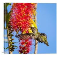 Feeding Hummingbird, Canvas Print
