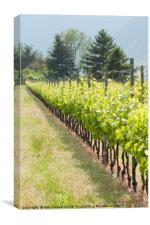 Vineyard, Canvas Print