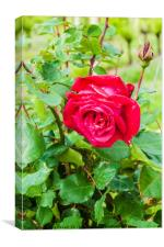 Vineyard Rose, Canvas Print