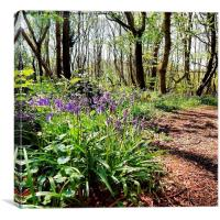 Bluebell woods in the springtime, Canvas Print