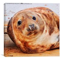 Horsey beach seal , Canvas Print