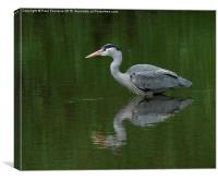 Heron chillin, Canvas Print