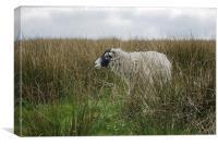 Sheep Hiding on the Hillside, Canvas Print