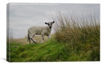 Little Lamb on a Hillside, Canvas Print