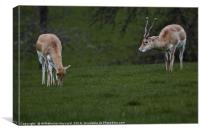 Antelope Friends, Canvas Print