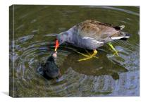 Loving Mother Moorhen, Canvas Print