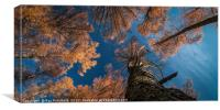 Larch Trees in Gateshead, Canvas Print