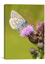 common blue, Butterfly, Canvas Print