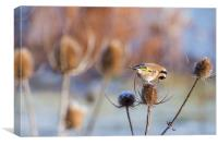 Goldfinch (Carduelis-carduelis) , Canvas Print