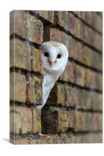 Barn Owl , Canvas Print