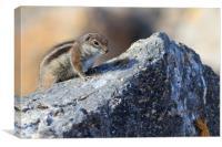 Barbary ground squirrel (atlantoxerus getulus) , Canvas Print