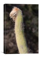 Cactus , Canvas Print