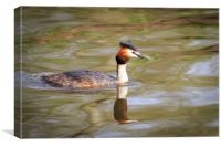 Great crested grebe  , Canvas Print