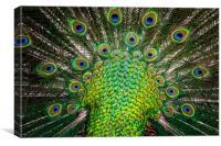 peacock , Canvas Print