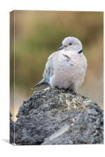 Collared Dove (Streptopelia decaocto) , Canvas Print