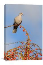 Collard Dove (Streptopelia decaocta) , Canvas Print