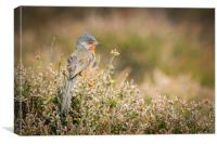 Dartford warbler (Sylvia undata)    , Canvas Print