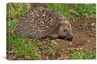 Hedgehog (Erinaceus europaeus) , Canvas Print