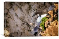 Guillemot , Canvas Print