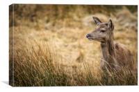 Red Deer             , Canvas Print