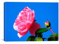 Pink rose , Canvas Print