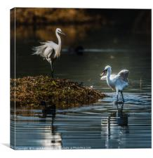 Egret with fish in mouth, Canvas Print