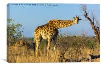 Inquisitive Giraffe, Canvas Print