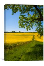 Rapeseed field,West Sussex, England , Canvas Print