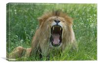 Male African Lion, Canvas Print