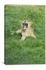 African Lion Cub Yawning, Canvas Print
