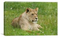 Female African Lion cub, Canvas Print
