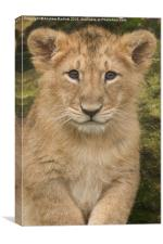Asiatic Lion, Canvas Print