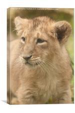 Asiatic Lion cub , Canvas Print