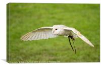 A Barn Owl flying at a UK Owl sanctuary., Canvas Print