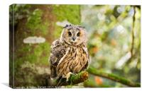 A Long Eared Owl sitting on a tree branch., Canvas Print