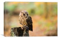 A Indian Scops Owl sitting in a tree., Canvas Print