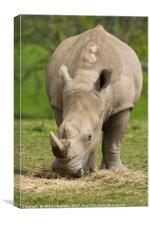 Southern White Rhino, Canvas Print