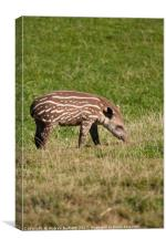 A Baby Tapir, Canvas Print