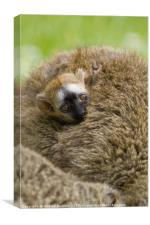 Baby Red Fronted Lemur, Canvas Print