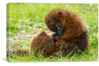 Red Bellied Lemur mother and baby., Canvas Print